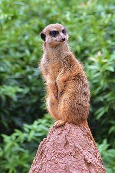Animal World, Zoo, Meerkat, Vigilant