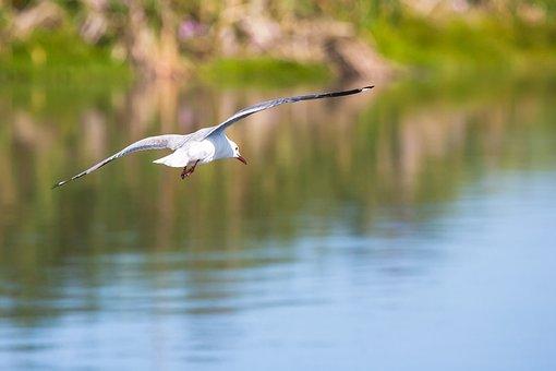 Hartlaub Gull In Flight, Water, Reflection, Wings