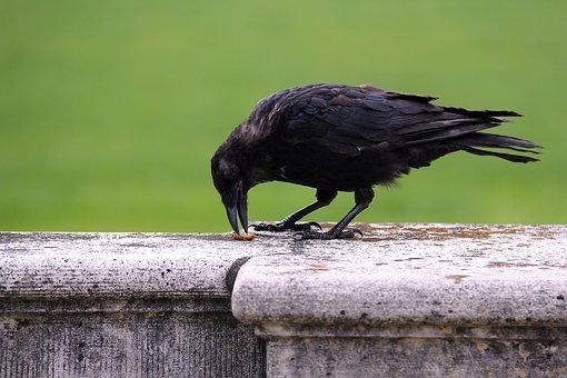 Bird, Animal World, Nature, Animal, Raven, Wall