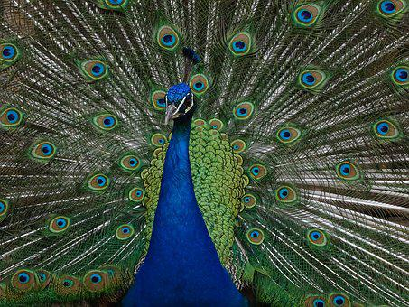 Peacock, Feather, Bird, Peacock Feathers, Beauty