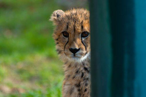 Animal World, Mammal, Cat, Nature, Animal, Cheetah
