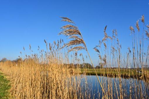 Common Reed, Reed, Plant, Phragmites Australis