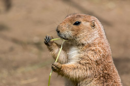 Animal World, Nature, Animal, Cute, Small, Prairie Dog