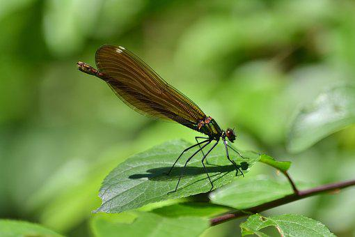 Dragonfly, Brown, Green, Nature, Insects