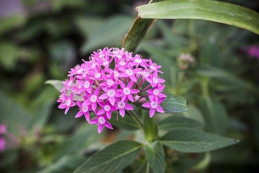 Nature, Flower, Plant, Leaf, Garden, Penta