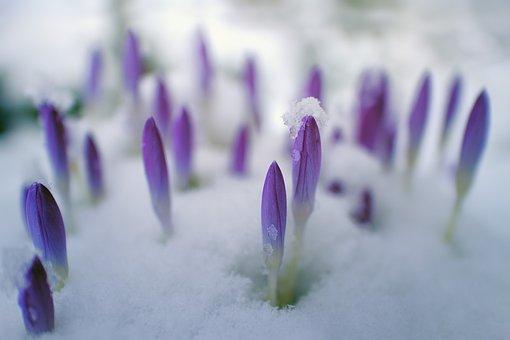 Flower, Nature, Petal, Plant, Floral, Crocus, Garden