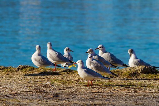 Seagull, Bird, Seagulls, Animal World, Lake, Nature