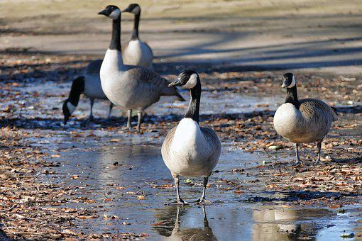 Bird, Waters, Goose, Animal World, Lake, Water Bird
