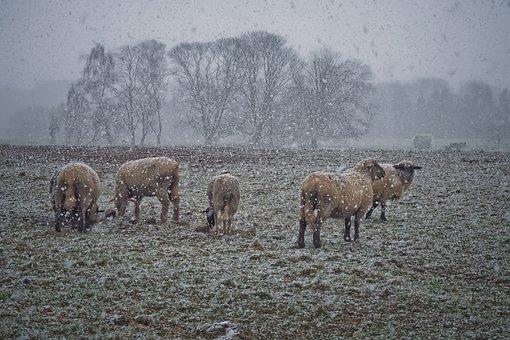Animals, Mammal, Agriculture, Farm, Sheep, Nature