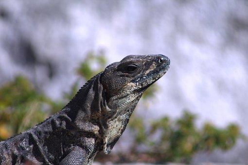 Nature, Wild Life, Animalia, Lizard, Reptile, Iguana
