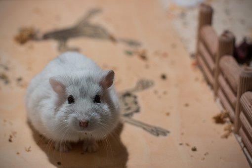 Small, Dwarf Hamster, Hybrid, Pet, Knuffig
