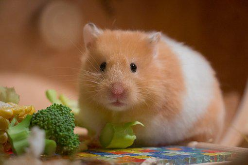 Cute, Small, Portrait, Goldhamster, Medium-hamster, Pet