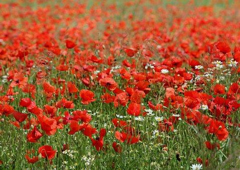 Poppy Field, Poppies, Chamomile, Meadow