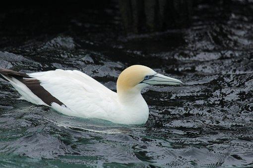 Australasian Gannett, Ramsar, Port Phillip Bay, Bird