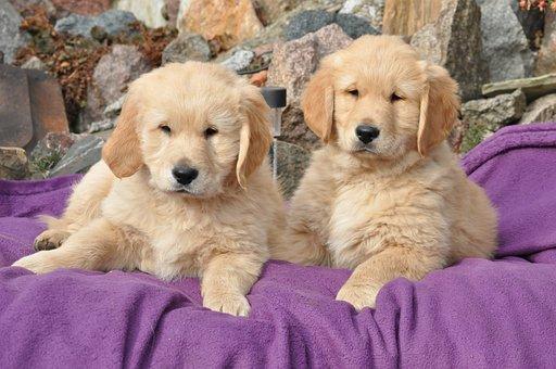 Golden Retriever, Charming, Mammals, Puppy Mela