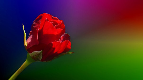 Rose, Red Rose, Romance, Flower, Rose Bloom, Isolated