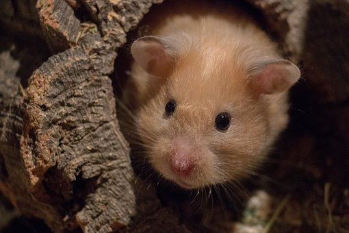 Cute, Mammal, Nature, Small, Rodent, Curious, Hamster