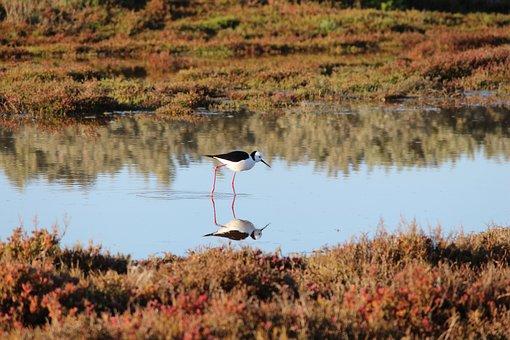 Black-winged Stilt, Shorebirds, Wetlands, Outdoors