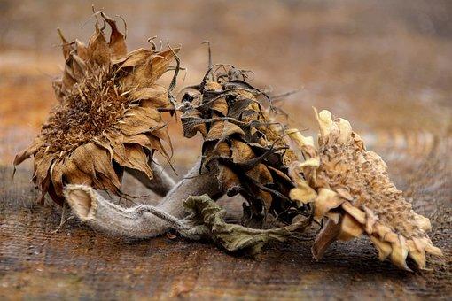 Still Life, Three Sun Flowers, Symbol, Transient, Dried