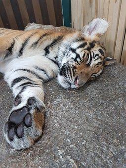 Animal, Cat, Wildlife, Mammal, Carnivore, Tiger