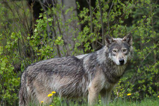 Nature, Wildlife, Mammal, Grass, Wood, Wolf, Animal