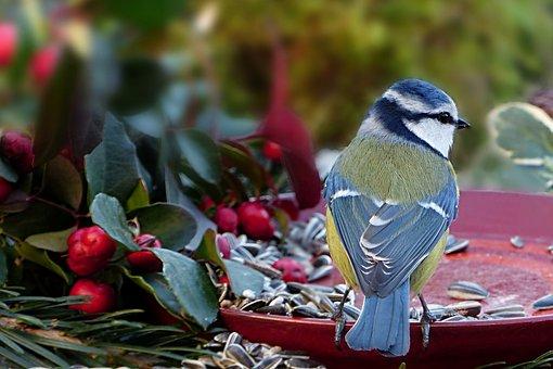 Animal, Bird, Tit, Blue Tit, Cyanistes Caeruleus