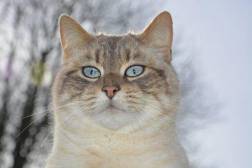 Cat, Cat Head, Pussy Nala Blue Eyes, Blue Eyes Cute