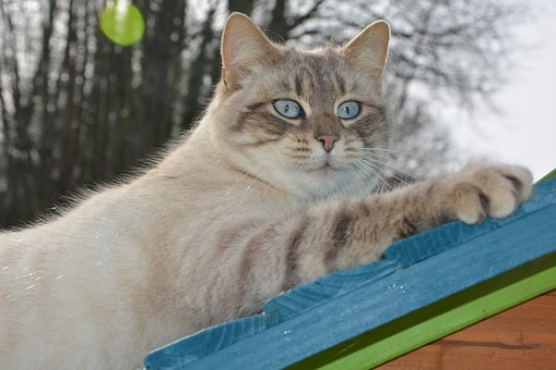 Cat, Pussy Nala, Feline, Cute, Blue Eyes, Domestic