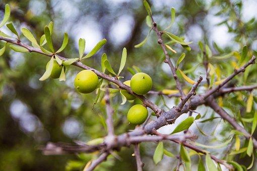 Tree, Branch, Nature, Leaf, Fruit, Argan