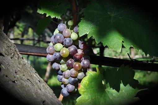 Climber Plant, Fruit, Nature, Grape, Vineyard, Wine