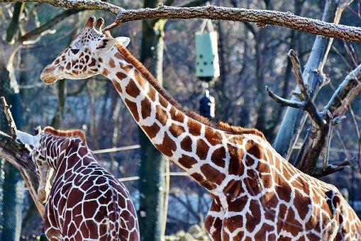 Giraffe, Neck, Giraffe Head, Long Jibe, Wild Animal