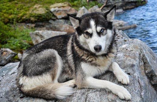 Husky, Siberian, Animal, Mammal, Dog, Nature, Cute, Fur