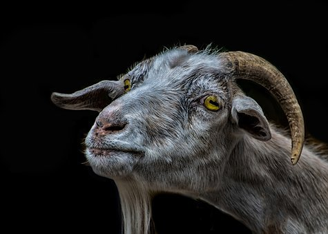 Goat, Billy Goat, Animal, Nature, Mammal, Portrait