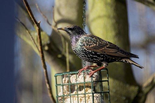 Star, Songbird, Bird, Animal World, Nature, Animal