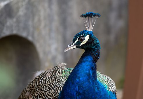 Feather, Peacock, Bird, Nature
