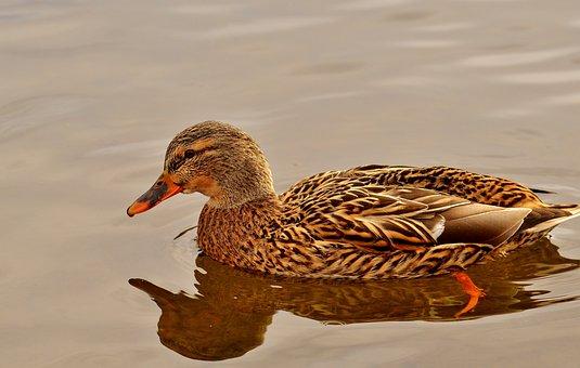 Duck, Mallard, Colorful, Water Bird, Duck Bird, Nature