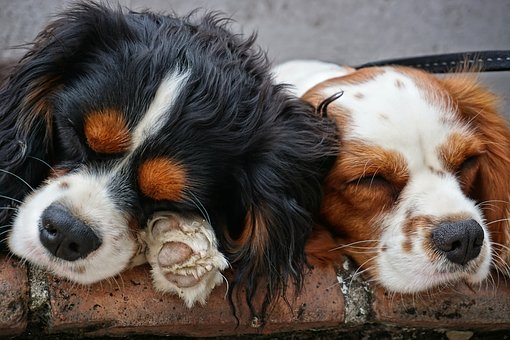 Dogs, Mammal, Pet, Animal, Puppies, Sleeping, Lying
