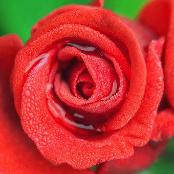 Rose, Flower, Petal, Love, Romance, Happy Birthday