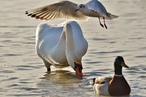 Swan, Seagull, Duck, Lake, Plumage, Animal World