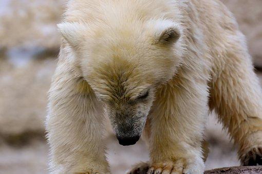 Polar Bear, Young Animal, Zoo, Animal Feeding