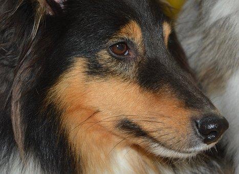 Dog, Shetland Sheepdog, Portrait, Eyes Muzzle Nose Dog