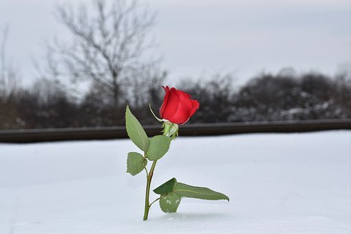 Red Rose In Snow, Love Symbol, Railway