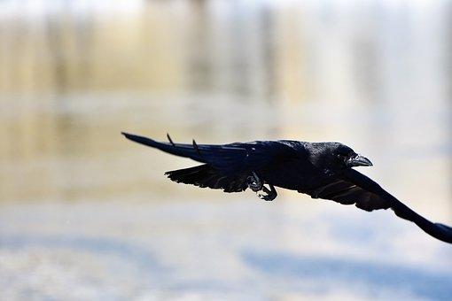 Raven, Crow, Raven Bird, Bird, Black, Feather