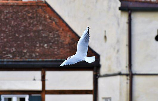Seagull, Bird, White, Water Bird, Flight, Seevogel