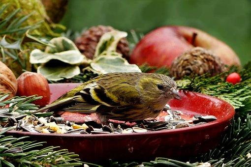 Animal, Bird, Siskins, Carduelis Spinus, Small