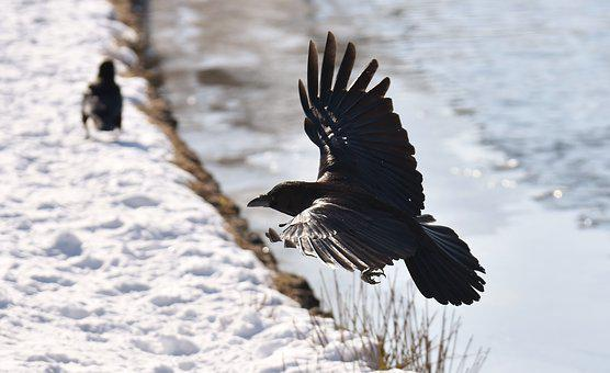 Common Raven, Flying, Snow, Winter, Cold