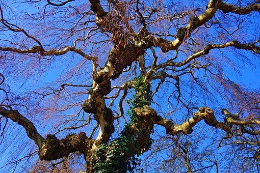 Birch, Tree, Birch Tree, Tree Top, Branch, Bare Branch