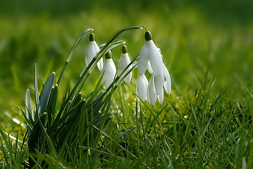 Nature, Plant, Snowdrop, Galanthus, White, Closed