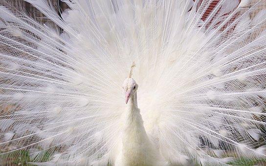Birds, Peacock, White, Portrait, Animals