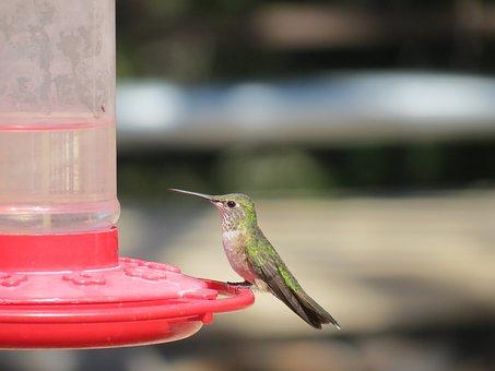 Bird, Hummingbird, Feeding, Iridescent, Wyoming, Usa